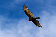 A turkey vulture (Cathartes aura) soars over the Piedras Blancas State Marine Reserve and Marine Conservation Area near San Simeon, California. Turkey vultures, also known as turkey buzzards, are the most widespread of the New World vultures, found from southern Canada to the southern tip of South America. Turkey vultures are scavengers, using their keen sense of smell to detect the first signs of decay. They typically fly by using thermals to move through the air, flapping their wings infrequently.