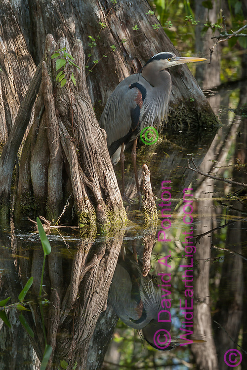 Great blue heron with hunting stand next to a cluster of cypress knees, with the smooth reflective water characteristic of forest wetlands. Big Cypress National Preserve, Florida, © 2007 David A. Ponton