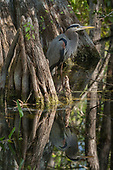 GREAT BLUE HERON IN BIG CYPRESS