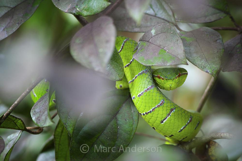 Green Pit Viper, Tropidolaemus subannulatus, Sabah, Malaysia