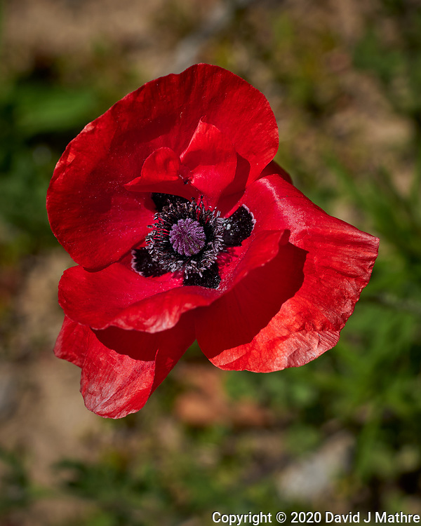 Red Oriental Poppy. Image taken with a Leica CL camera and 60 mm f/2.8 lens (ISO 100, 60 mm, f/5, 1/1250 sec).