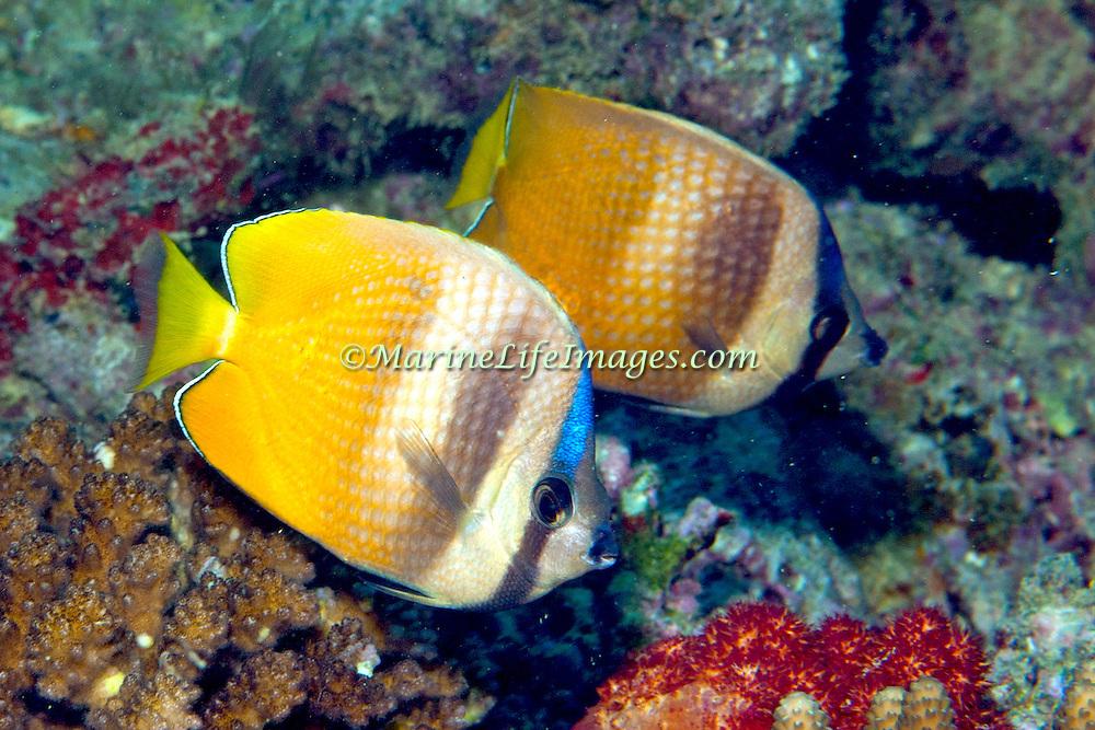 Inhabit reefs. Picture taken PNG.