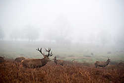 © Licensed to London News Pictures. 06/01/2016. Richmond, UK.  Deer wake up to a foggy morning in Richmond Park today 6th January 2016. Photo credit : Stephen Simpson/LNP