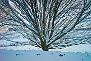 Snow-covered hornbeam tree in Swinbrook, The Cotswolds tree in Swinbrook, The Cotswolds