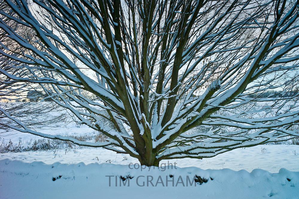 Snow-covered hornbeam tree in Swinbrook, The Cotswolds tree in Swinbrook, The Cotswolds