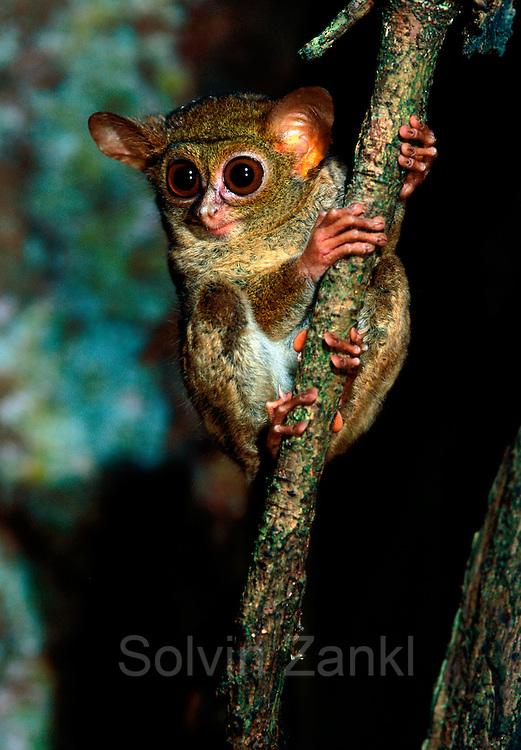 Spectral or Sulawesi Tarsier, (Tarsius spectrum), in the rainforest, Tangkoko Nature Reserve, Sulawesi, Indonesia    Celebes-Koboldmaki