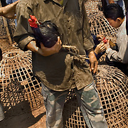 CHIANG MAI -MARCH 12 2006: Unlike the more vicious fights in Indonesia, Thai cocks do not fight to the death - the birds are worth too much and the owners do not want to lose them. When one is knocked out or attempts to escape the ring, the fight is over, and the birds will return to fight another day. Fear of Bird Flu caused officals to ban Thai cock fights in 2005, but a persistent movement of Thai's claiming the social significance of the sport and a reduction in Bird Flu cases has allowed the fights to resume. (Photo by Logan Mock-Bunting)