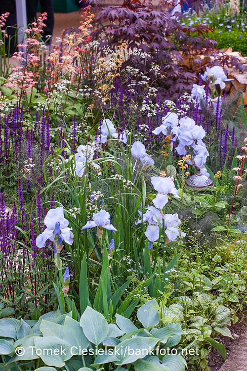 Colors composition, mix of iris  and perennials