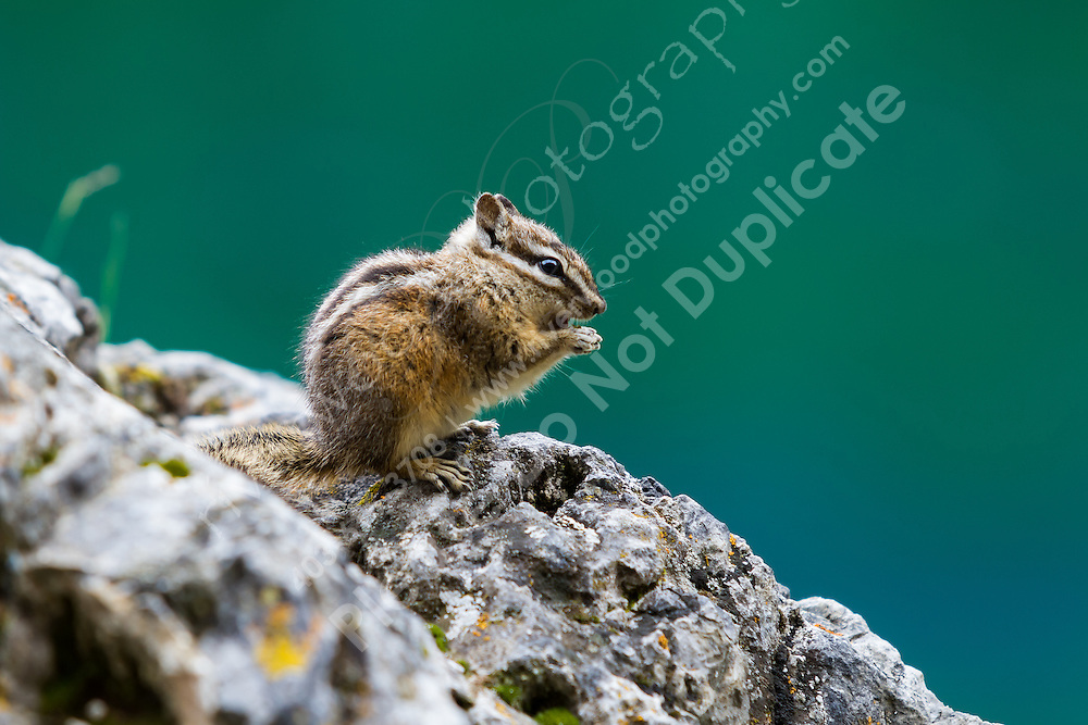 A very curious chipmunk stopped to check us out while hiking near the Grassi Lakes in Canmore. The green water of the lake behind Chippy made for a perfect backdrop!<br /> <br /> ©2011, Sean Phillips<br /> http://www.RiverwoodPhotography.com