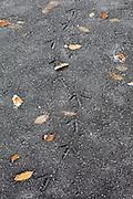 Pheasant footprints across frozen pond in The Cotswolds, UK