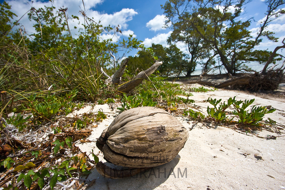 Coconut on white sand at idyllic beach in Islamorada, Florida Keys, United States of America