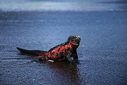 Endemic Marine Iguana (Amblyrhynchus cristatus) sitting on a black sand beach in the Galapagos, Black Beach, Floreana Island, Galapagos Islands, Ecuador