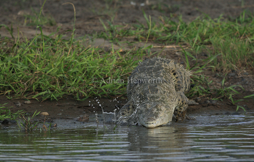 American Crocodile (Crocodylus acutus), River Tarcoles, Costa Rica. <br />