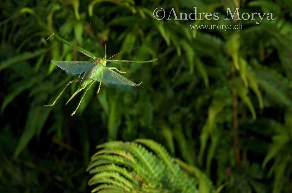 Great Green Bush-Cricket (Tettigonia viridissima). Is a  'katydids crickets' belonging to the family Tettigoniidae. Insect in Flight, High Speed Photographic Technique Image by Andres Morya