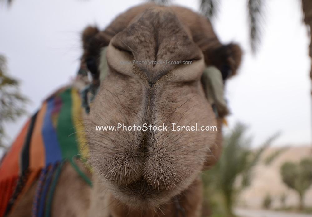 Israel, Negev Deset, close up of an Arabian camel (Camelus dromedarius)
