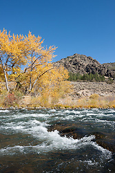 """Truckee River in Autumn 14"" - Photograph of yellow leaved cottonwood trees, taken along the shore of the Truckee River in Autumn."
