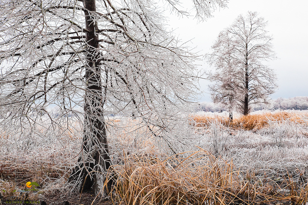 Frozen rain on barren trees in rice field