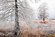 Frozen rain on barren trees in rice field
