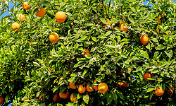 Oranges growing in the gardens of the Bahia Palace in Marrakech, Morocco, North Africa<br /> <br /> (c) Andrew Wilson | Edinburgh Elite media