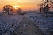 A golden retriever running down a country lane with a sunset.
