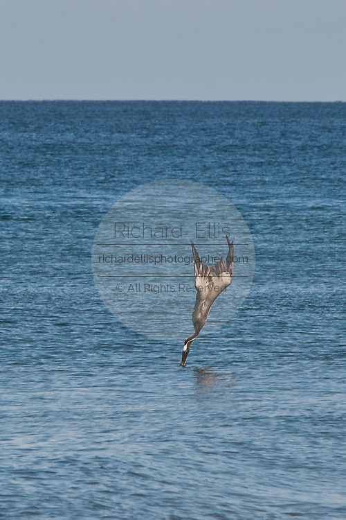 Brown Pelicans dives into the water to catch fish Rincon, Puerto Rico.