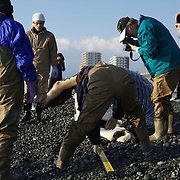 Researchers measuring humpback whale calf (Megaptera novaeangliae) that washed ashore on 3 January 2012 in Odawara, Japan. Measured 6.87 meters long and was male. Cause of death unknown. This humpback whale calf is the third smallest one recorded to date that has stranded or washed ashore in Japan. It is the third deceased calf to have been found in the 2011-2012 breeding and calving season. Members of the science community recording measurements for Japan's cetacean stranding database.