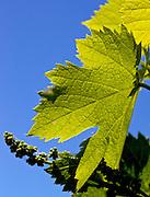 Southern France, Sunlight, Vineyard Vine Leaf Detail, Congenies