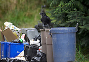 Common Raven (Corvus corax) emptying trash cans,   Gabriola Island , British Columbia, Canada