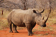 """*50% of the proceeds from sales of all rhino prints will go to charities that support saving the rhino from extinction. For more information, click """"50% Charity Pledge"""" at the top of this page, and thanks for helping Africa's rhinos!"""