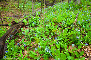 Bluebells carpet the forest floor at Starved Rock State Park, Illinois, USA