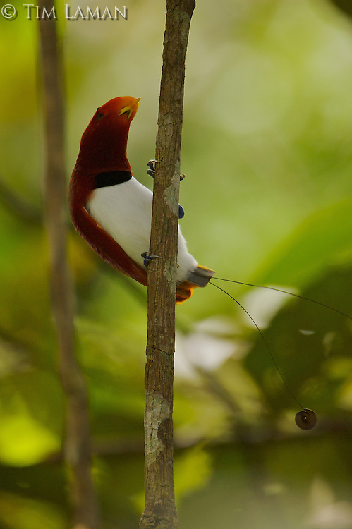 Male King Bird of Paradise (Cicinnurus regius) on his display vine in the rain forest canopy in the vicinity of the Karawari River..East Sepik Province, Papua New Guinea.