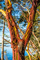 A Madrone tree on Skagit Island with the Salish Sea / Skagit Bay behind, Washington State, USA.