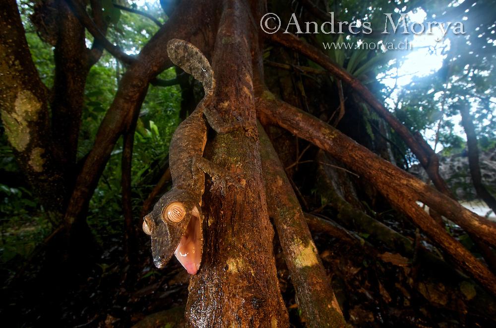 Giant leaf-tailed gecko (Uroplatus fimbriatus), Nosy Mangabe Reserve, Madagascar Image by Andres Morya