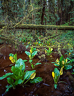 Skunk cabbage growing along edge of a rain forest creek, Olympic National Forest, Washington, © 1995 David A. Ponton  [From 4x5 original]