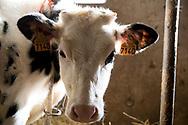 15/02/17 - COURNOLS - PUY DE DOME - FRANCE - GAEC des Coustilles. Les veaux dans la nurserie - Photo Jerome CHABANNE