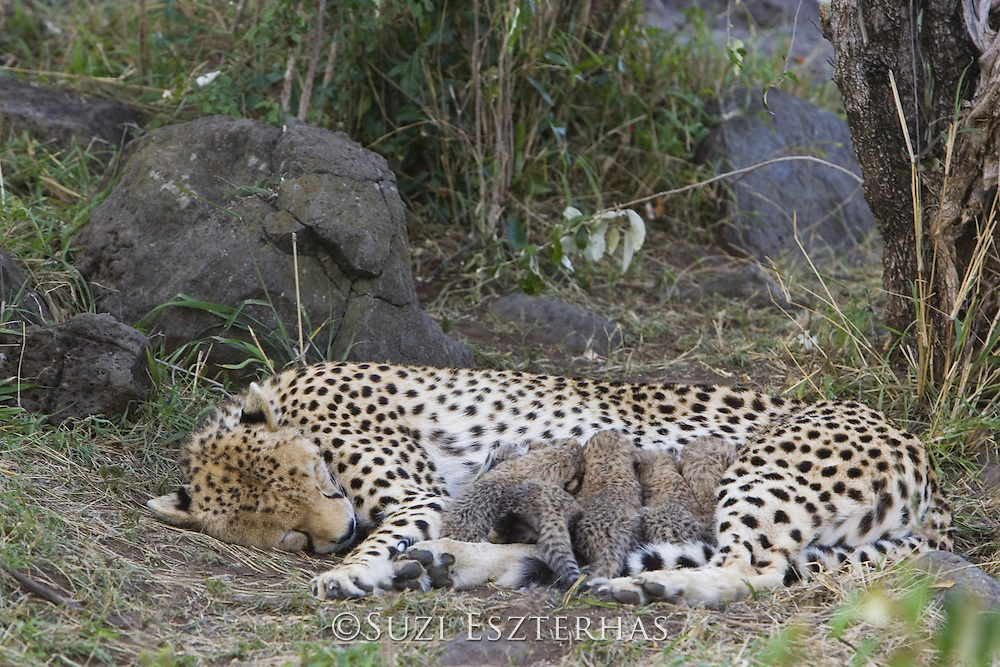 Cheetah<br /> Acinonyx jubatus<br /> Mother sleeping in nest with 8 day old cubs<br /> Maasai Mara Reserve, Kenya