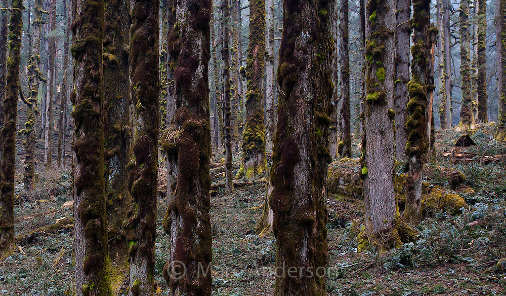 Lichen and moss growing on the bark of pine trees in a pine forest, Nepal