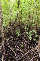 mangrove in Jozani forest  in Unguja aka Zanzibar Island Tanzania East Africa