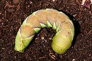 Rustic Sphinx Moth Caterpillar, Manduca rustica, burying itself underground to pupate under its host tree.