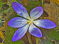 Lovely macro shot of a wild purple crocus in the forest.