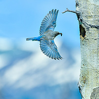 Bluebirds flying around nest