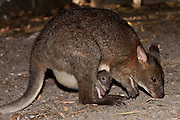Swamp Wallaby with a joey in its pouch, Australia