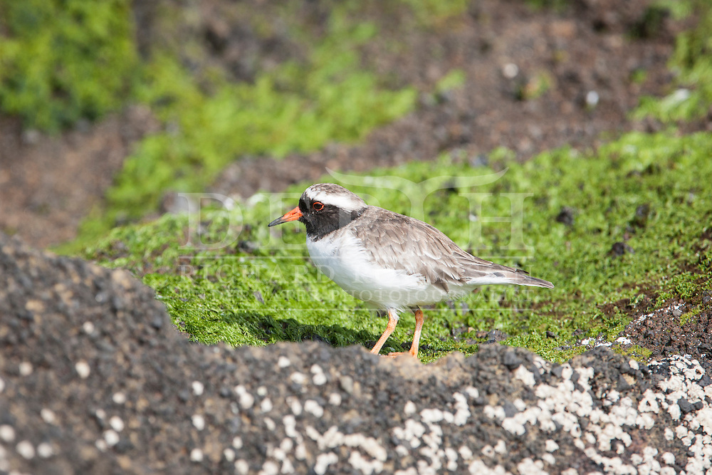 Thinornis novaeseelandiae (Shore Plover) at Rangatira (South East Island) in the Chatham Islands. Friday 14 March 2014<br /> Photograph Richard Robinson &copy; 2014