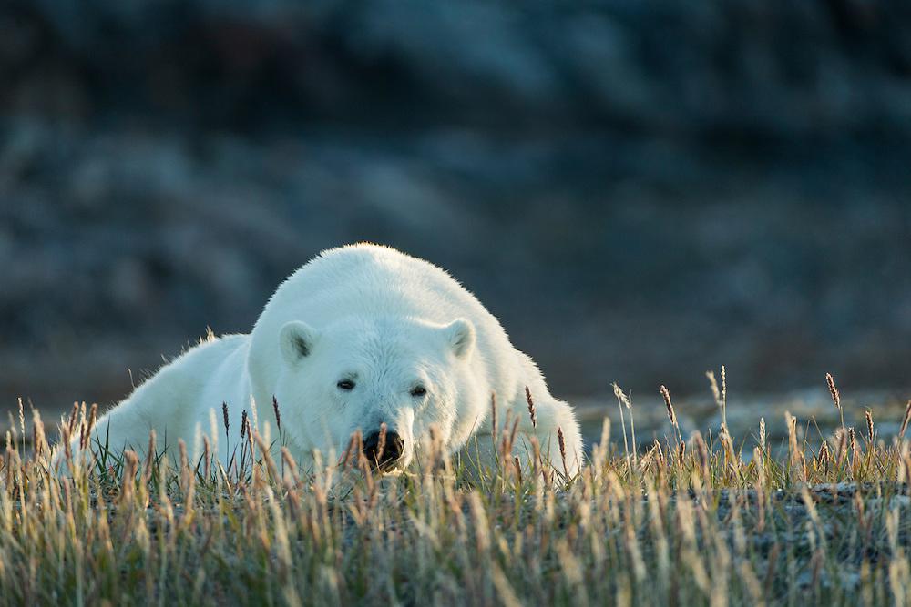 Canada, Nunavut Territory, Repulse Bay, Polar Bear (Ursus maritimus) resting at sunset in meadow along rocky coastline of Hudson Bay near Arctic Circle