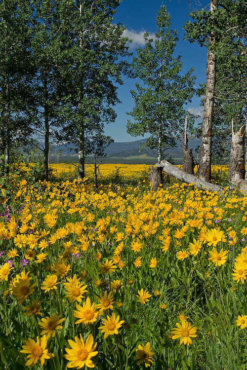 One marvels at the beauty of a sea of wildflowers along Gneiss Creek Trail in Yellowstone National Park. If only summer were not so fleeting.