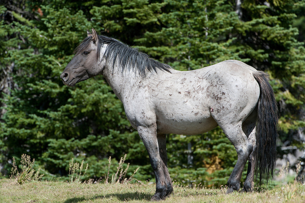 Flint, one of the stallions of the Pryor Mountain wild horse herd