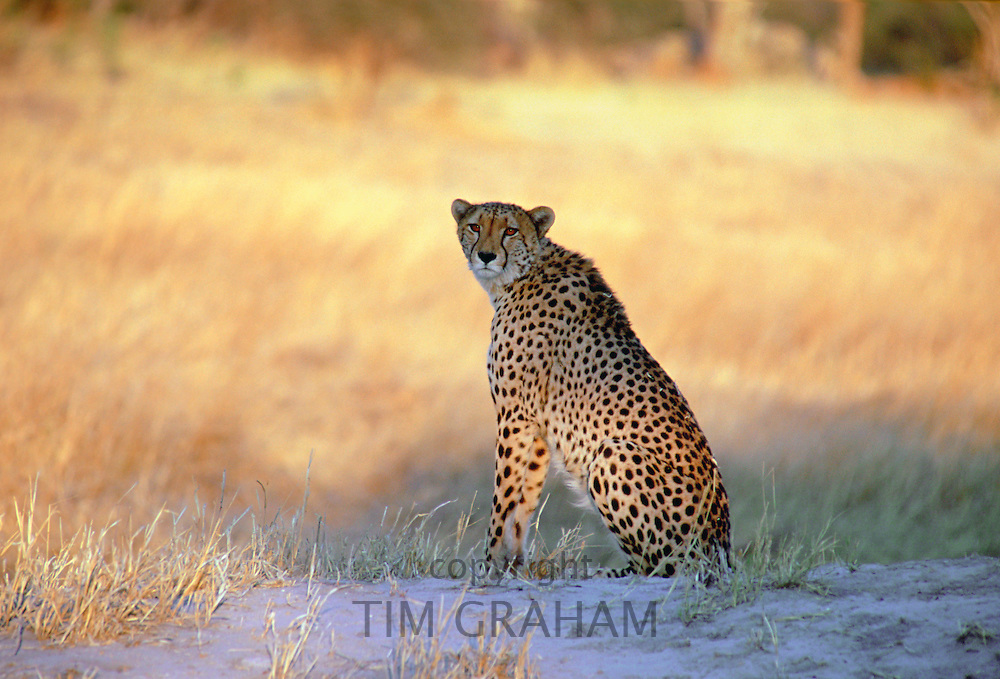 A cheetah sitting watching  for approaching prey in Moremi National Park, Botswana