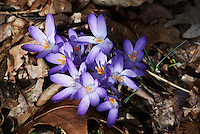 Early Purple Crocuses -- Spring is Coming. Image taken with a Nikon 1 V1 and 10-100 mm lens (ISO 100, 58 mm, f/5.6, 1/320 sec).