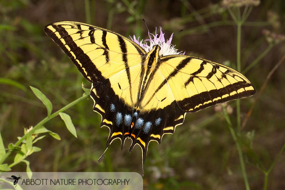 Two-tailed Swallowtail (Papilio multicaudata)<br /> TEXAS: Travis Co.<br /> Jester Wild Drive; Austin<br /> 12-May-2012<br /> J.C. Abbott &amp; K.K. Abbott