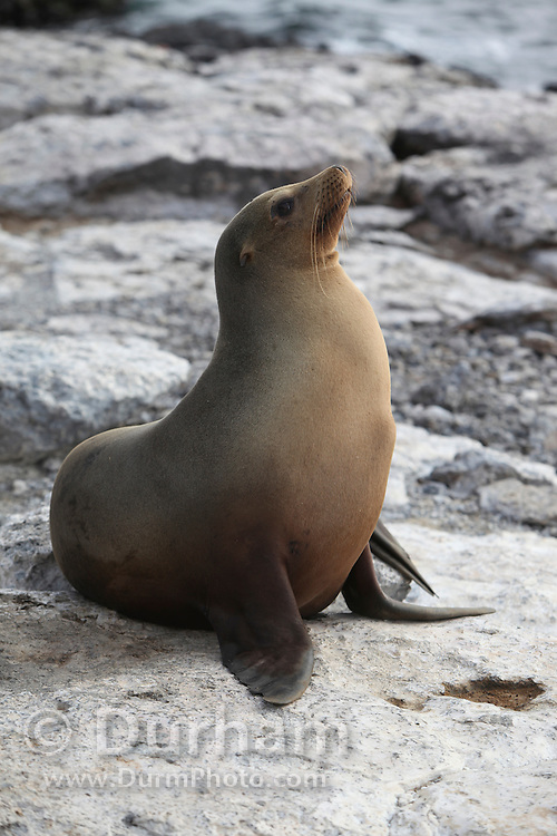 A galapagos sea lion (Zalophus californianus) on South Plaza Island, Galapagos archipelago - Ecuador.